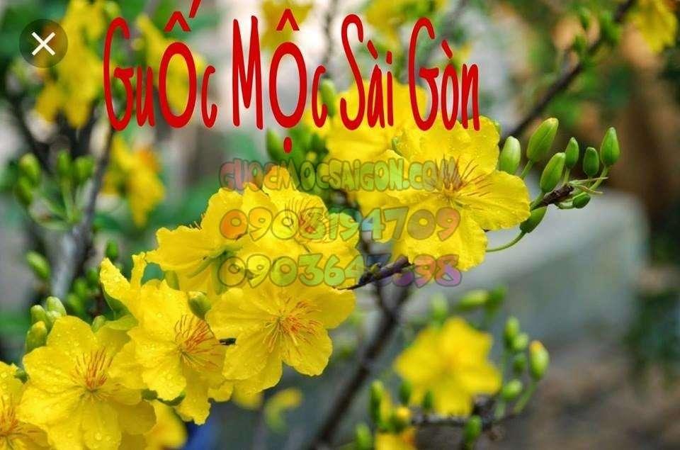 hoa mai năm mới